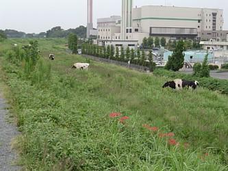 牛と彼岸花